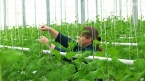 В Саратове ожидается январский урожай огурцов